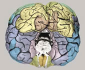 External morphology of the formalin fixed atlas brain before slicing. The colors correspond to the colors on the atlas plates.